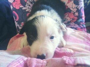 Cbca border collie puppy
