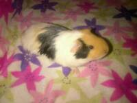 2 year Male Guinea Pig & large cage