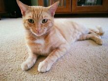 Rescue cat-Hunter Valley Cat Haven Kurri Kurri Cessnock Area Preview