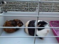 5 month old guinea pig with brand new indoor cage