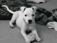 White male staffy pup