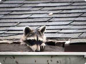 This is the Story of the Pimp'n Raccoon