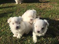 Male white Maltese puppy