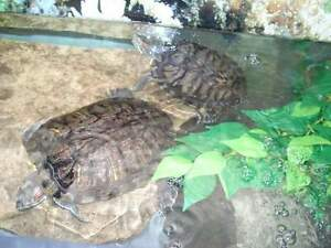 ISO experienced reptile owner to adopt 2 red eared sliders