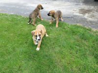 BOXER x  PUPPIES-Come Canada Day to see them!!!