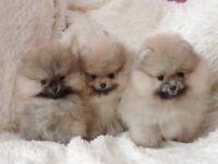 KC Pomeranian Puppies