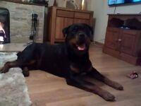 Ch sired kc male Rottweiler champion boy