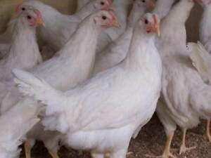 Sexed Pullets 3/4 Australorps and 3/4 Leghorns 6 weeks(vaccinated Herne Hill Swan Area Preview