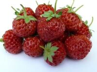 Framberry Plants, £3 each. Fruit cross between a strawberry & a raspberry. Raising money for charity