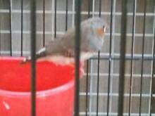 ZEBRA FINCHES,3 YOUNG BOYS,WILL SELL OR WILL SWAP FOR A BUDGIE . Hampton Park Casey Area Preview