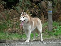 Missing Siberian Husky G22