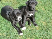 Great Dane Puppies: Ready to go TODAY!!!