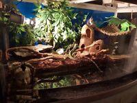 Reptile - Chinese water dragon + Custom built Vivarium + Full Set up - OPEN TO OFFERS