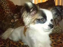 papillon puppy wanted Gosnells Gosnells Area Preview