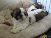 STUNNING SHIH TZU PUPPIES FOR SALE