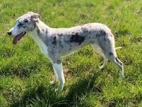 Merle collie whippet greyhound
