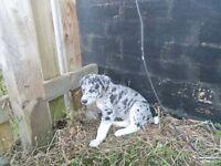 Lurcher Pups for sale 2 male 2 female