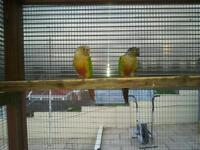 Hi I have a couple of pairs of conures for sale
