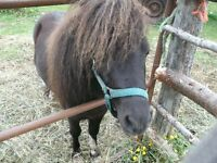 for sale three pinto mineture ponies