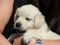 Golden retriever kennel club pups