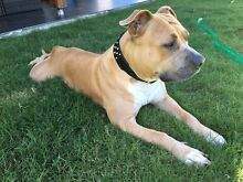Coco - Female Amstaff mix Pullenvale Brisbane North West Preview