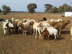 goat meat | Livestock | Gumtree Australia Free Local Classifieds
