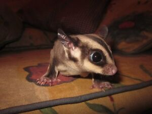 Sugar Glider For Sale With All Accessories