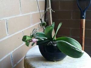 Moth Orchid with keiki Box Hill South Whitehorse Area Preview