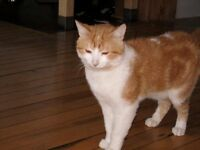 MISSING PERDU CAT CHAT ORANGE BLANC REWARD $200