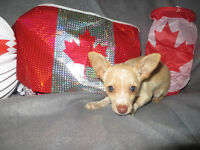 Male Chihuahua Puppy for sale!!