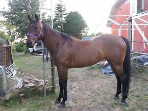 Reg. Solid Paint Mare