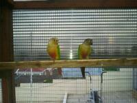 Pair of conures for sale