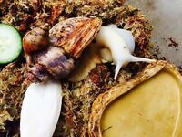 Albino Giant African Land Snail