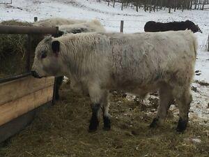 Commerical & Purebred Speckle Park Bulls