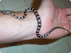 baby corn snake for sale