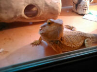 collection of Rankins Bearded Dragons