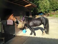 5 year old 14.1 Black Gypsy Cob Mare FOR SALE