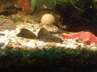 Long finned bristlenose pleco plecostemus tropical live fish algae eater sucker