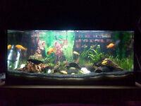 Malawi Cichlids x4 & algae eaters x 5 | £30 for ALL fish | Must go!