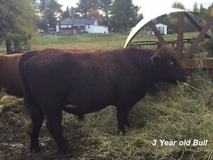 Registered purebred shorthorns