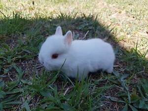 purebred netherlsnd dwarfs (prices starting from $50) Epping Whittlesea Area Preview