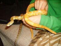 Two Corn Snakes + Vivarium