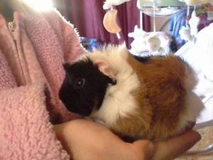 Beautiful baby boy guinea pig ready in 2 weeks,Peruvian  $40 terr Terrigal Gosford Area Preview