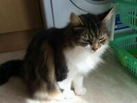 FREE BRITISH TABBY CAT