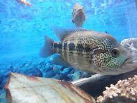 Cichlid catfish algae eater tropical fish