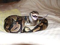 Female Royal python free viv