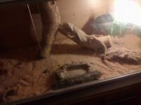 3-4 year old bearded dragon with set up