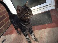 MISSING CAT TABBY COCO