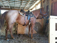 """AQHA Registered 5 yr old Mare """"Cashmere"""""""
