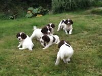 English Springer spaniel puppies ready to leave now